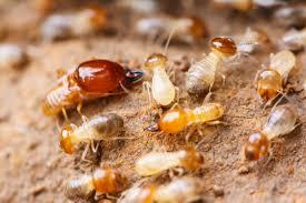Termites in Central Coast